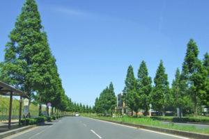 印西牧の原の街路樹メタセコイア
