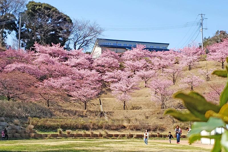 木下万葉公園の河津桜