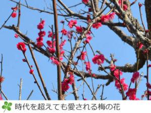 時代を超えて愛される印旛沼公園の梅の花