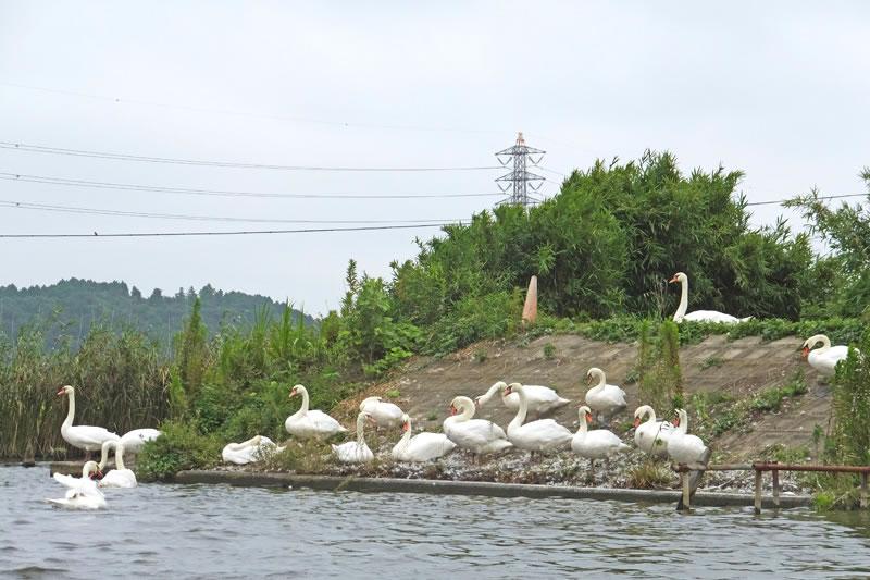 手賀川の白鳥コブハクチョウ