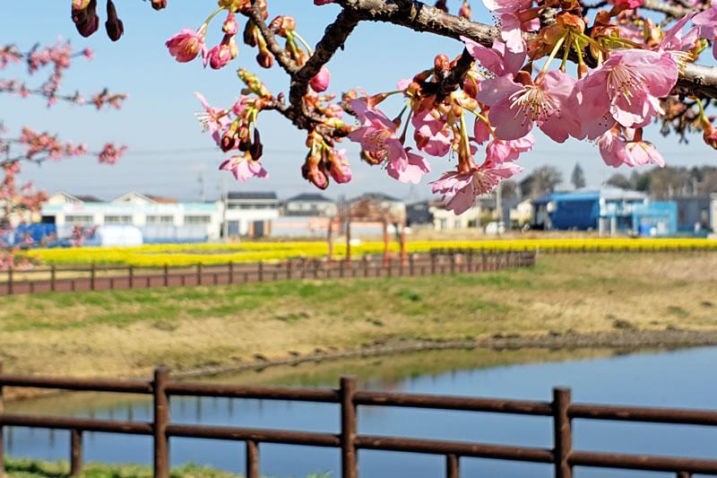 ひょうたん島池の河津桜