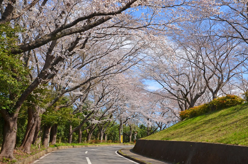 印旛沼公園の桜並木