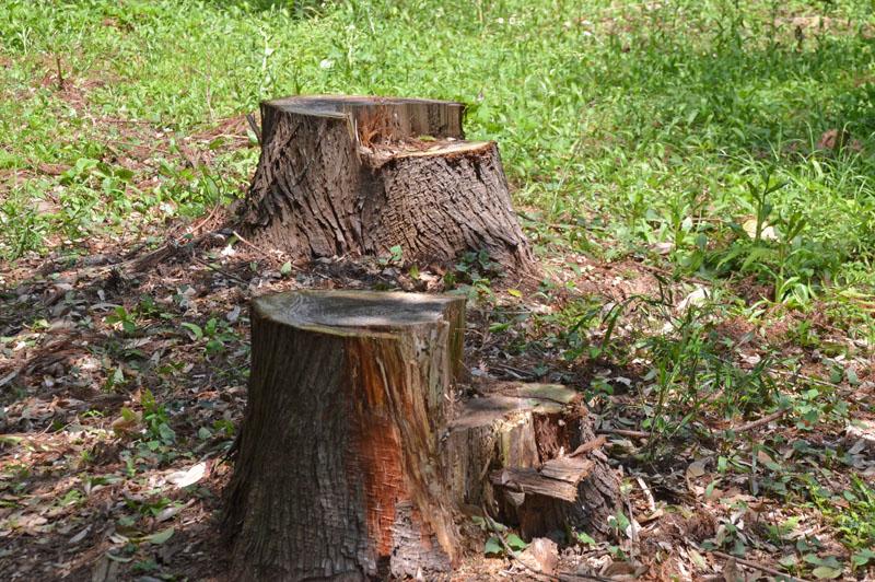 草深の森の切り株