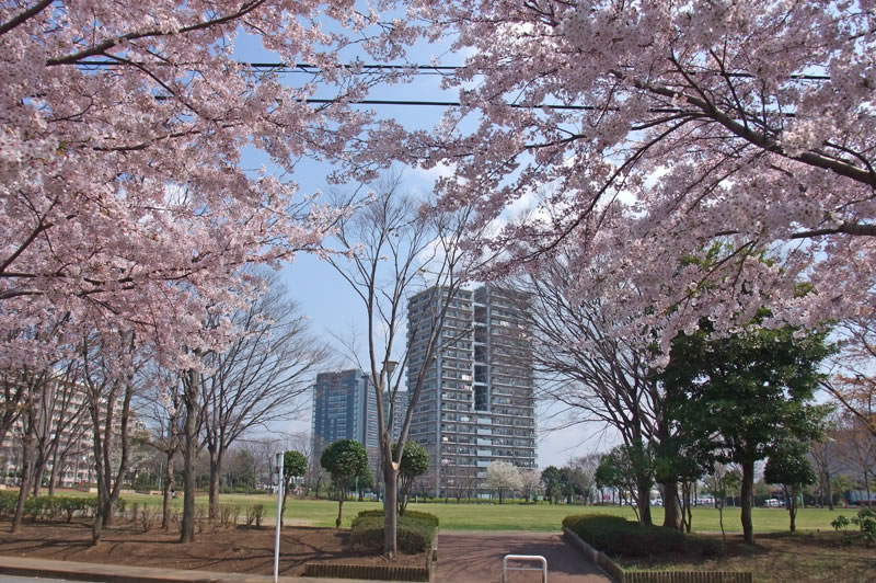 千葉ニュータウン中央の桜