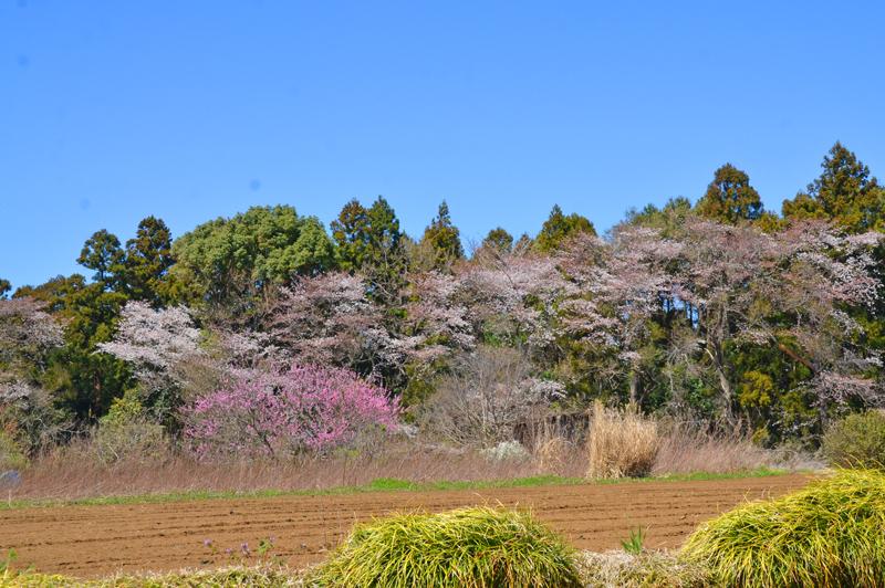 印旛岩戸の桜