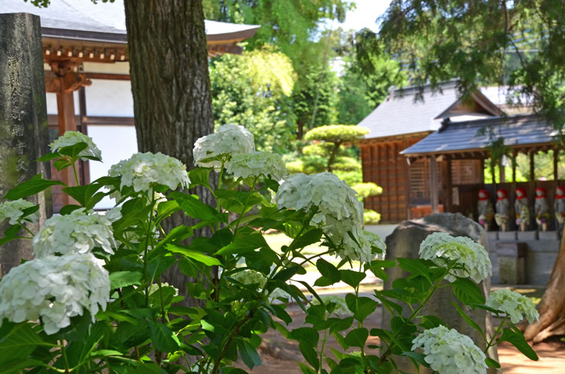 結縁寺の境内とあじさいの花