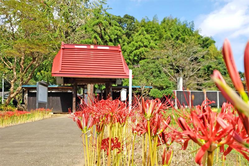 印西市の結縁寺の彼岸花