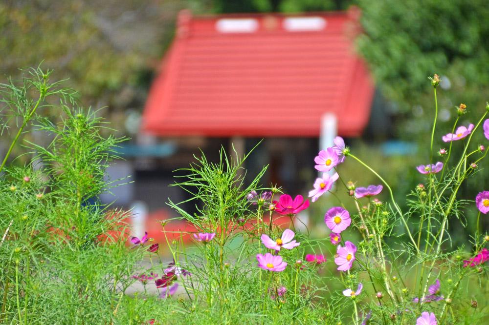 コスモスの花と結縁寺