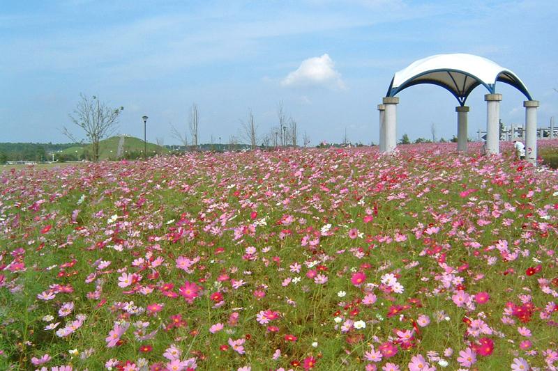 牧の原公園のコスモス畑