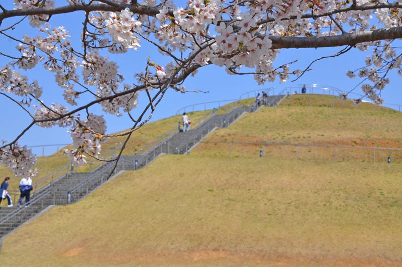 牧の原公園の桜