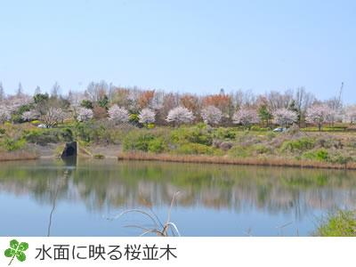 牧の原公園桜並木が水面に映る