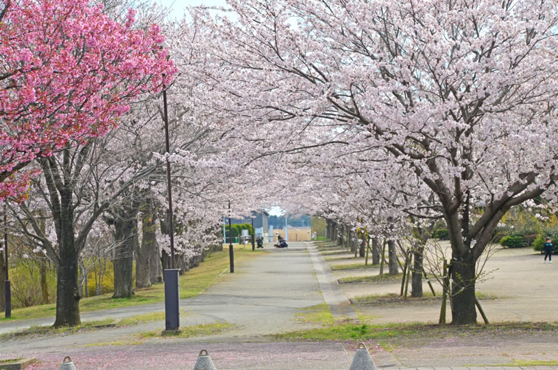 滝野公園の桜