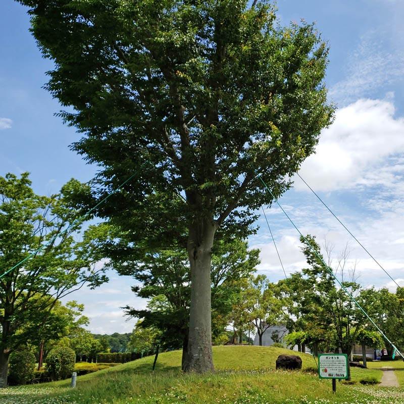 ポンキッキの記念樹ポンキッ木