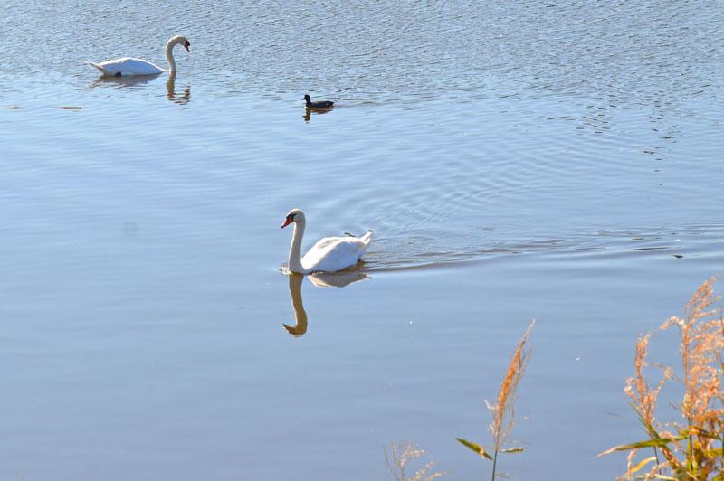 手賀川の白鳥