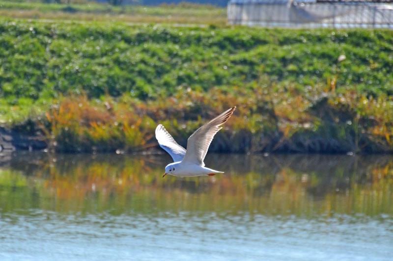 手賀川の野鳥