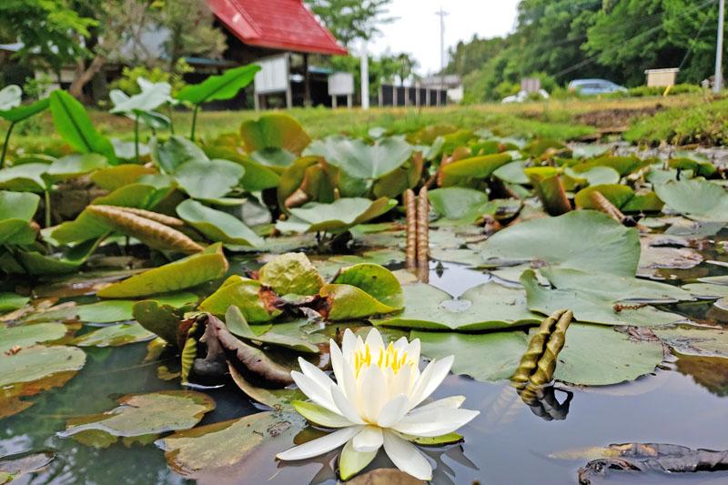 結縁寺の蓮の花