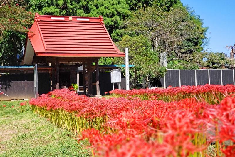 結縁寺の彼岸花の満開を過ぎたころ